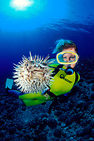 female diver and a spiny pufferfish, Diodon holocanthus, that has inflated in response to a perceived threat, Maui, Hawaii, USA, Pacific Ocean