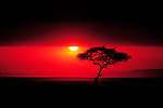 An Acacia tree is silhouetted as the sun sets below a thunder cloud, Masai Mara National Reserve, Kenya