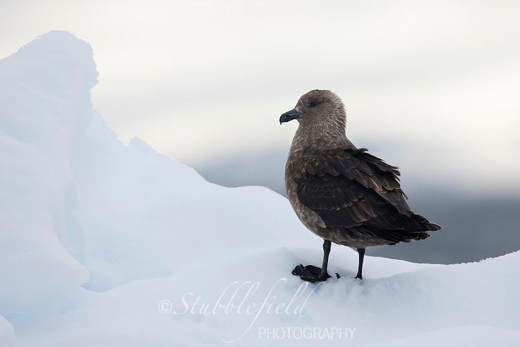 South Polar Skua (Stercorarius maccormicki) on an ice floe in the Weddell Sea, Antarctica.