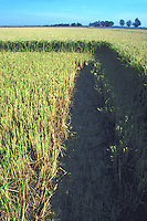 harvester path in rice field California