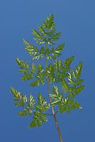 Wiesen-Kerbel, Wiesenkerbel, gefiedertes Blatt, Fiederblatt, Anthriscus sylvestris, wild chervil, wild beaked parsley, keck, Queen Anne's lace