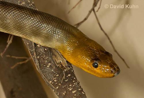 0422-1105  Woma (Ramsay's python, Sand python), Australia, Endangered Snake, Aspidites ramsayi  © David Kuhn/Dwight Kuhn Photography