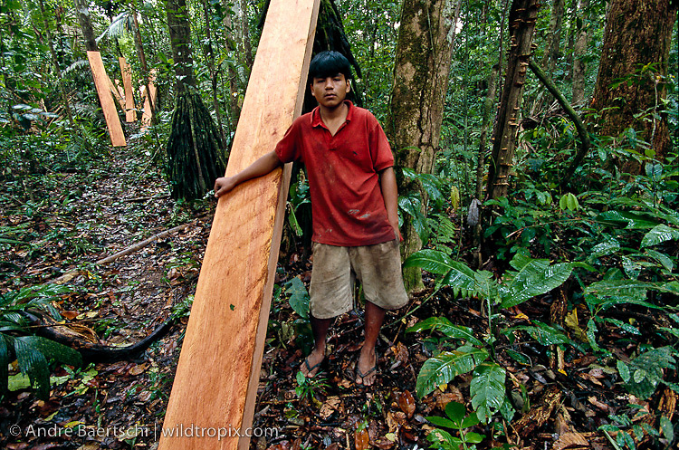 Logger with large boards of illegally cut Spanish cedar (Cedrela odorata), ready for carrying towards the riverside in lowland tropical rainforest along the Las Piedras River, Madre de Dios, Peru.
