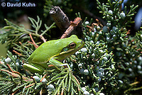 0605-0915  American Green Treefrog Climbing Tree at Outer Banks North Carolina, Hyla cinerea  © David Kuhn/Dwight Kuhn Photography