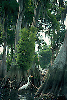 Great Egret among Cypress tree roots in cypress swamp, Florida. Florida.