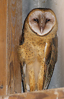 Barn Owl, Tyto alba ,adult roosting in barn, Lake Corpus Christi, Texas, USA, June 2003