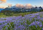 Mount Rainier National Park, WA: Lupine meadow (Lupinus latifolius) with sunset clouds over the Tatoosh Range