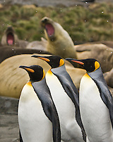 Light snow falls on King Penguins and young Elephant Seals as they share Gold Harbor Beach, South Georgia Island, November 2007
