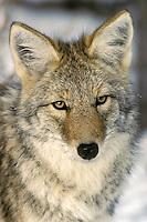Portrait of a wild Coyote.  Western U.S., winter.