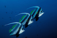 A trio of Longfin Bannerfish, Heniochus acuminatus, hover in formation in mid-water.  Similan Islands Marine National Park, Andaman Sea, Thailand. filename: bff68