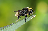 Narcissus Fly - Merodon equestris