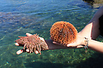 sun star and urchin. Gulf of California