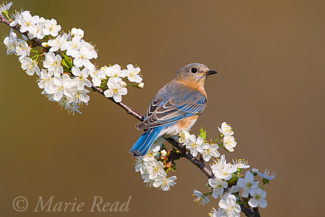 Eastern Bluebird (Sialia sialis), female perched amid cherry blossom in spring, New York, USA