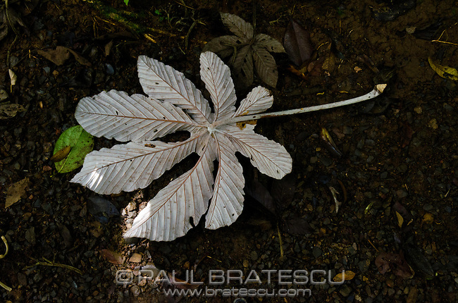 Cecropia leaf, Costa Rica