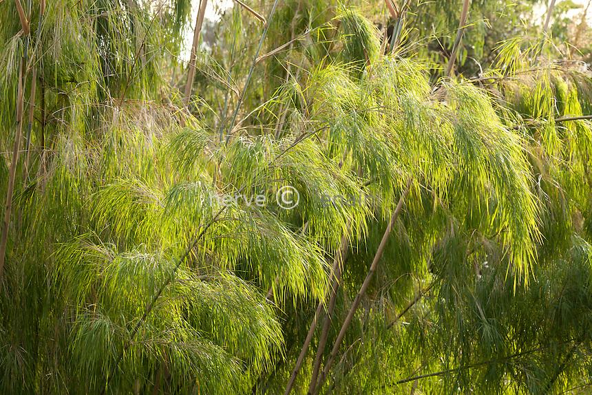 Domaine du Rayol en novembre : dans le jardin d'Amérique subtropicale, Otatea acuminata // Otatea acuminata, Mexican Weeping Bamboo