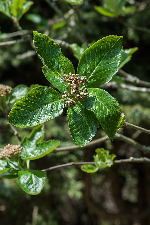 Sorbus x hostii, late April. A form of mountain ash reaching up to 15 x 10 feet that is the hybrid between Sorbus chamaemespilus & S. mougeotii. It is very similar to Sorbus mougeotii except its leaves are sharper toothed and a little longer, up to 5 inches in length. The flowers are pink, borne in clusters up to 6 inches across, and resemble that of Sorbus chamaemespilus. They are followed by red fruits.