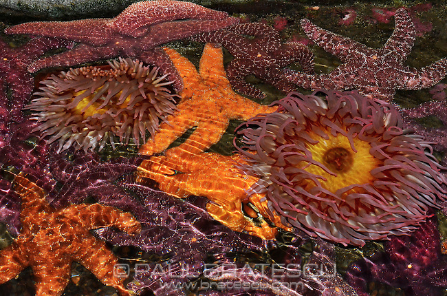 Starfish & Anenome filled Tide Pool, Puget Sound, Washington