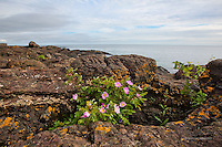 Wild roses, black rocks, Lake Superior