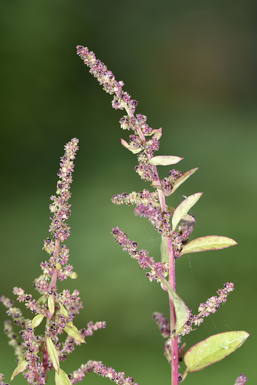 Many-seeded Goosefoot - Chenopodium polyspermum