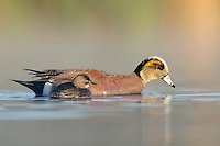 American Wigeon (Anas americana) Least Grebe (Tachybaptus dominicus), male wigeon swimming with grebe, Dinero, Lake Corpus Christi, South Texas, USA