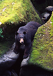 black bear at Anan Creek