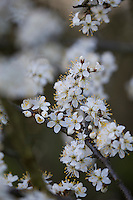 Gewöhnliche Schlehe, Schwarzdorn, Blüte, Blüten, Schlehenblüte, Prunus spinosa, Blackthorn, Sloe, Epine noire, Prunellier