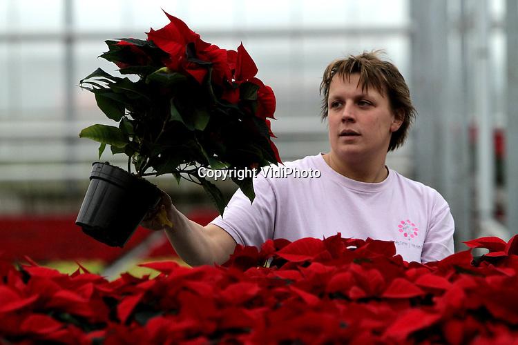 Foto: VidiPhoto..EST - Hortensiakweker Van den Berg uit Est bij Geldermalsen is deze week begonnen met de oogst van de kerststerren. Naar het bij uitstek decemberproduct is bij bloemenveiling Plantion nu al veel vraag uit Duitsland. In Nederland moet de belangstelling nog op gang komen, vertelt eigenaresse Marjanne van den Berg. De kweker ruim 300.000 kerststerren in een tweetal formaten per jaar om waarbij de kweek zich vooral richt op het topsegment van de markt. Om die reden kunnen ook particulieren kerststerren kopen in de eigen winkel die op vrijdag en zaterdag geopend is. De vraag naar kerststerren neemt zowel in het buitenland als in Nederland nog steeds toe.