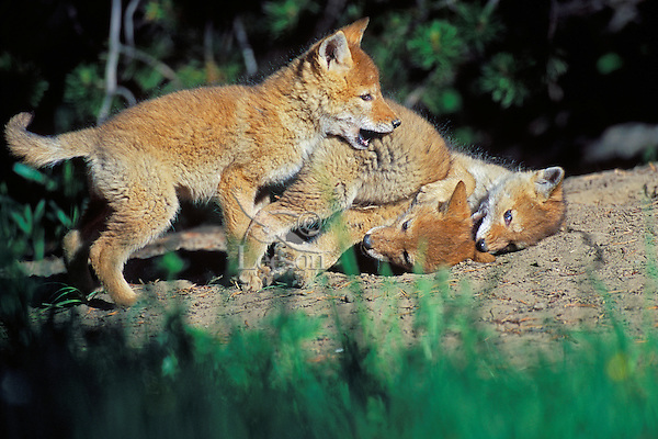 Wild Coyote (Canis latrans) pups play near densite.  Western U.S., June.