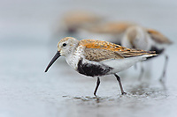 Adult Dunlin (Calidris alpina) molting into breeding (alternate) plumage bathing during spring migration. Gray's Harbor County, Washington. April.