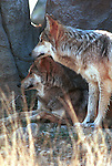 Mexican Gray Wolf, wolf, canis lupus baileyi, gray wolf, North America,  C.I. baileyi, Fine Art Photography, Ron Bennett Photography ©, Fine Art Photography by Ron Bennett, Fine Art, Fine Art photography, Art Photography, Copyright RonBennettPhotography.com ©