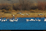 Snow Geese Landing, Bosque del Apache Wildlife Refuge, New Mexico