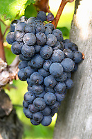 Bunches of ripe grapes. Cabernet Franc. Chateau Gaillard, Saint Emilion, Bordeaux, France