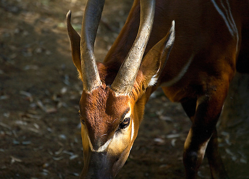 THE GIANT ELAND MAMMAL FOUND IN AFRICA, FLASHES AN INQUISITIVE STARE