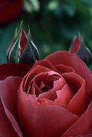Rose 'Hot Chocolate' hybrid tea rose in deep mahogany red, closeup with rosebud
