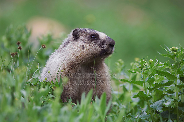 Hoary Marmot,Marmota caligata, adult eating, Logan Pass,Glacier National Park, Montana, USA, July 2007