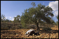 The Olives of Palestine