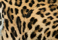 654309093 spot pattern detail of an african leopard panthera pardus captive wildlife rescue