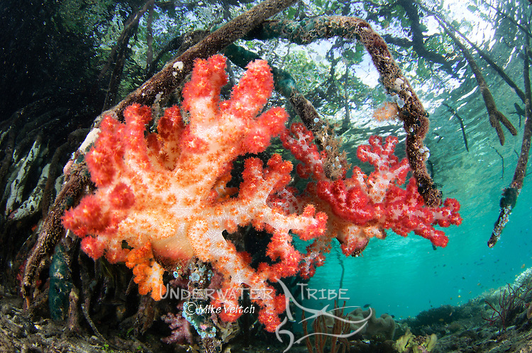Soft corals growing on the roots of mangrove trees, Dendronephthya sp., Blue Water Mangroves, Raja Ampat, West Papua, Indonesia, Pacific Ocean