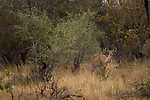 Greater Kudu (Tragelaphus strepsiceros) female in bushveld, Kruger National Park, South Africa