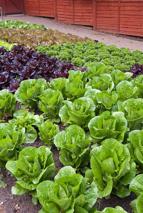 Vegetable garden Lettuces in garden rows, red lettuce, leaf lettuce, green lettuces, together a mixture of types and varieties, with red fence in background, healthy green lush foliage leaves