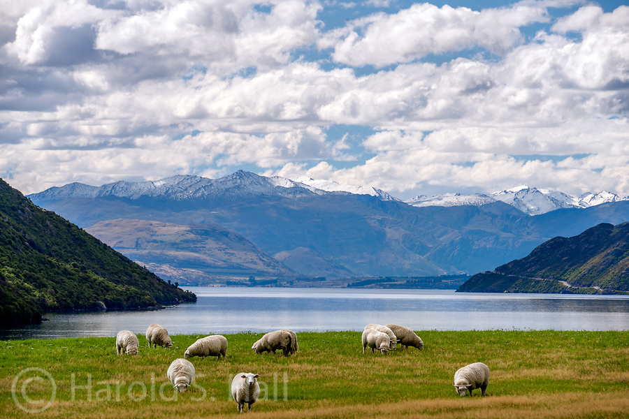 Famous New Zealand Sheep seen heading into Queenstown.