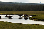 Bison cross a river in Yellowstone National Park, Wyoming.