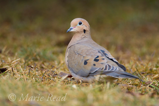 Mourning Dove (Zenaida macroura), on lawn in spring, New York, USA