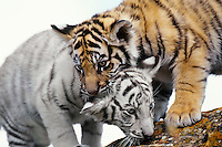 Bengal tiger cubs (Panthera tigris) playing together. One cub white the other normal color.
