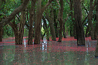 The flooded forest near Kampong Phluk during the Monsoon Season grows in the lowlands of Tonle Sap Lake, Cambodia and<br />