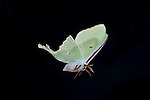 American Moon Moth,  Actias luna, USA in flight, flying, high speed photographic technique