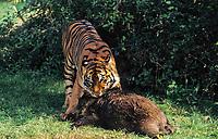 Sumatran tiger, Panthera tigris sumatrae, adult, with a wild boar kill, critically endangered species