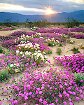 USA, California, San Diego.   Sand Verbena and Dune Primrose Wildflowers at sunset in Anza Borrego Desert State Park.