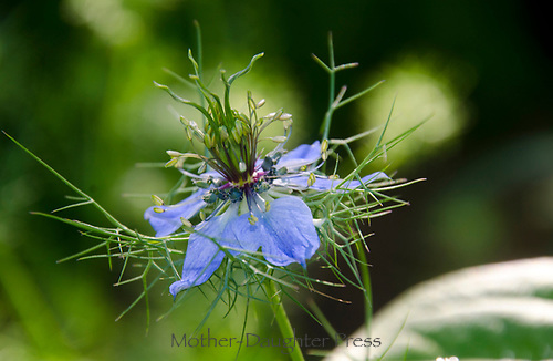 Blue flower, Nigella, or Persian Jewel, close up, Maine, USA