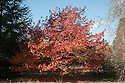 Liquidambar styraciflua, late October.